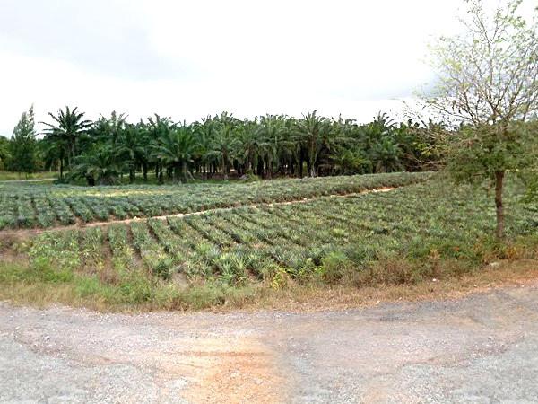 สวนปาล์ม-สับปะรด 56 ไร่ อ.สามร้อยยอด จ.ประจวบ ใกล้ถนนสุขุมวิทเพียง 3.5 กม.